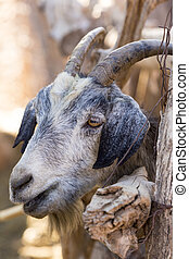 Goat behind the fence - Goat standing behind the fence and...