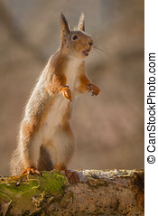 ballade - red squirrels standing on tree trunk with moss on...
