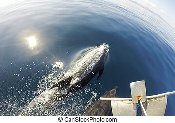 Dolphins swimming in front of the boat in the blue sea -...