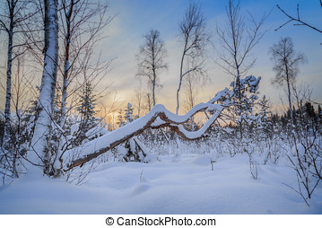 hanging tree - trees and snow in a forest landscape with sun...