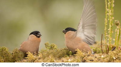impress - two female bullfinch standing on moss one with...