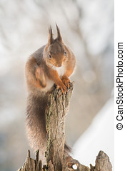 itchy - red squirrel standing on tree trunk looking down...
