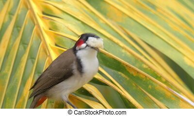 Red-whiskered bulbul eating bread - Close-up shot of...