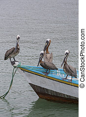 Pelicans standing on fisher boat, Margarita Island - Group...