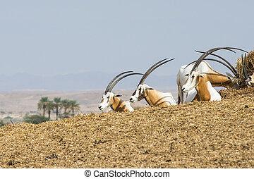 Scimitar oryx dammah - Oryx dammah - group of three, taken...