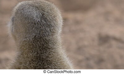 Suricate is on his guard - Close-up shot of a meerkat...