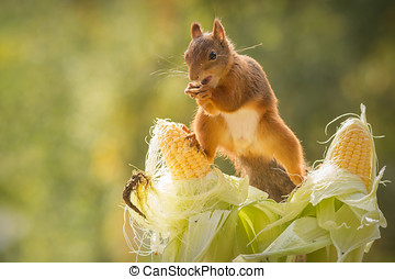 greedy - red squirrel standing on corn and has a open mouth