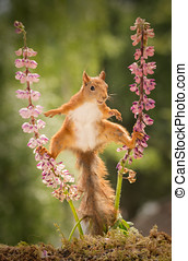 kung fu - red squirrel standing between 2 lupine flowers...