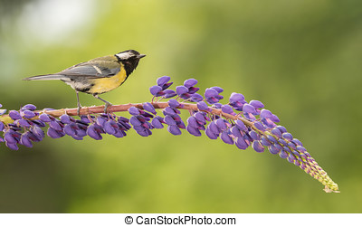 lupine visit - titmouse standing on a purple lupine branch