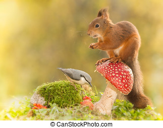 more food - red squirrel standing on a mushroom with a...