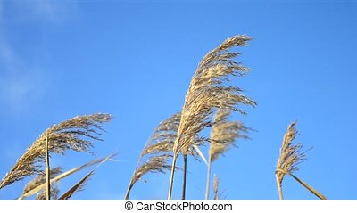 Reed swaying in the wind on background of blue peaceful sky...