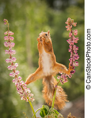 splits - red squirrel standing between 2 lupine flowers with...