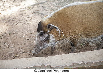 Red River Hog - Close up of a red river hog (Potamochoerus...