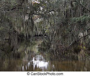 Spanish Moss Hanging from Trees - Spanish moss hanging from...