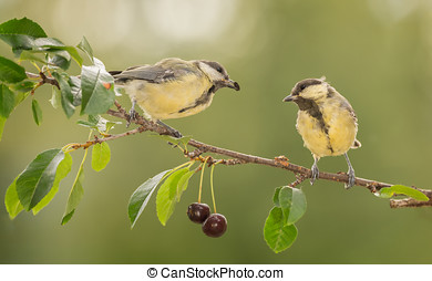 cherry love branch - close up of two titmouse standing and...