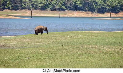 Elephant Grazes on Meadow by Lake in Indian National Park -...