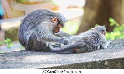 Closeup Monkey Sits on Stone Searches Fleas on Other in Park...
