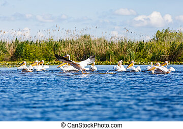 White pelicans in Danube Delta - Landscape photo of white...