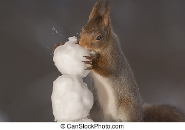 building a snowmans head - red squirrel standing on ice and...