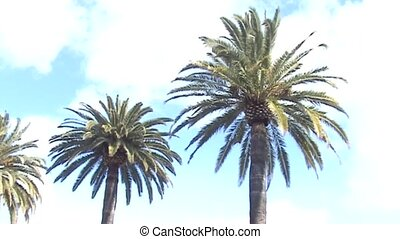 Palms in California (USA) - Palms on the boulevard in...