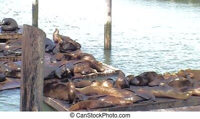 Sea lions on K dock. - Sea Lions sunbathe on K dock in port...