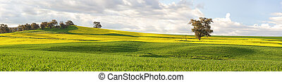 Agricultural fields of canola and pastures in springtime