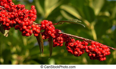 Red berries on Cotoneaster Cornubia branch - Cotoneaster...