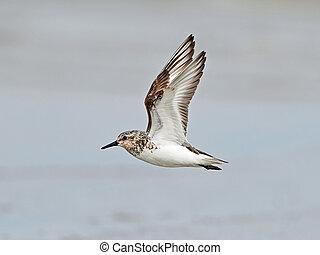 Sanderling (Calidris alba) - Sanderling in flight with sand...