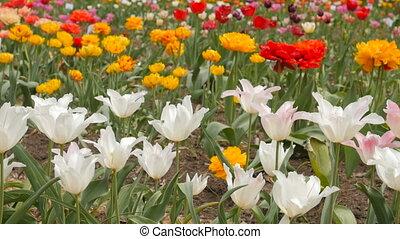 Beautiful multicolor tulips closeup. Slider footage.