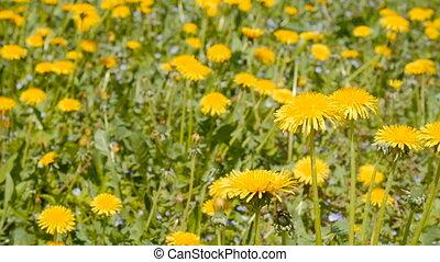 Slider shot of dandelions on springtime - Slider shot of...