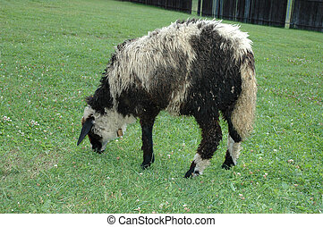Sheep in the enclosure - The sheep is grazing in the...