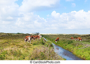Hereford cows in landscape - Brittain Hereford cattle with...
