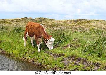 Hereford cow grazing grass - Brittain Hereford cow in Dutch...