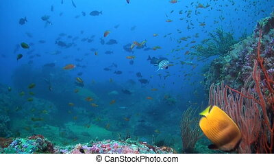 Canyon's - Coral reef in Puerto Galera - Coral reef with...