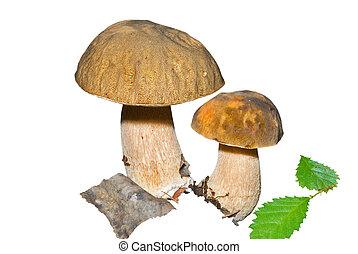 Mushrooms (Cape) 7