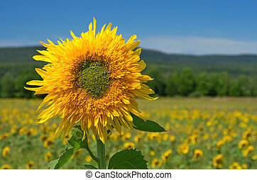 Sunflower in the summer field