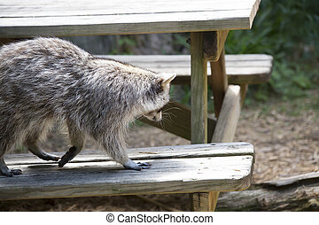 Raccoon - Racoon, also known as a washing bear, walking...
