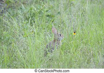 Cottontail Rabbit - Eastern cottontail rabbit in the wild