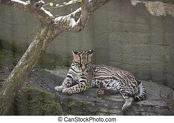 Ocelot (Leopardus pardalis) resting on a ledge