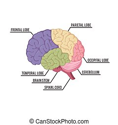human brain parts illustration design