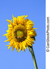 Image of sunflower on sky background.