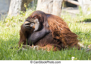 Image of a big male orangutan orange monkey on the grass....
