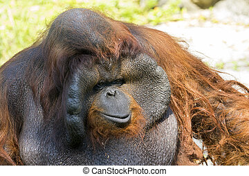 Image of a big male orangutan orange monkey. Wild Animals.