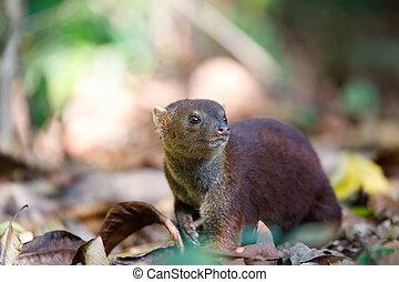Ring-tailed mongoose (Galidia elegans) Madagascar -...