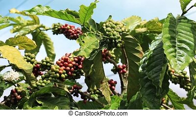 Branch With Berries Coffee - Close-up of coffee fruit in...