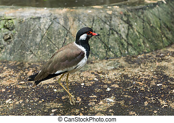Red - wattled lapwing bird. (Scientific name - Vanellus...