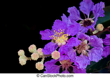 Close up of Queen's crape myrtle flower. - Close up of...