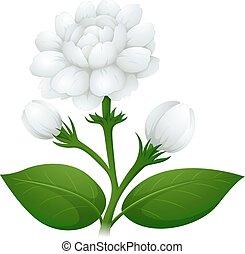Jasmine flowers on green stem illustration