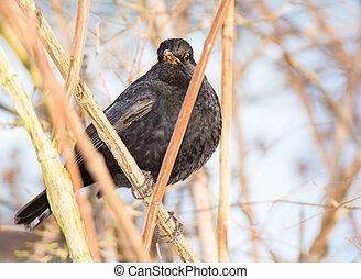 Blackbird sitting in a bush