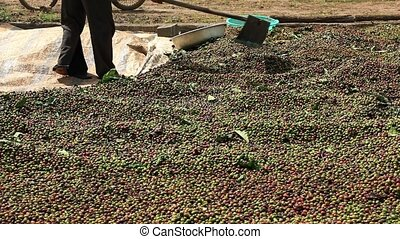 Drying Coffee Beans - Vietnamese farmer with a shovel rake...